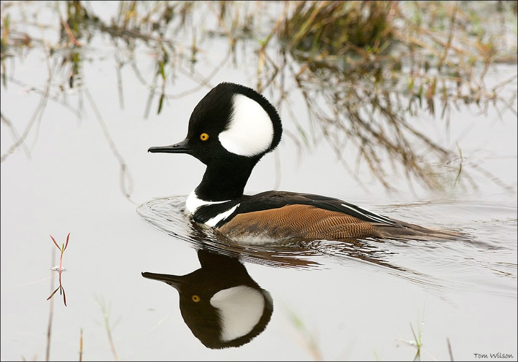 Male Hooded Merganzer - ID: 15304353 © Thomas R. Wilson