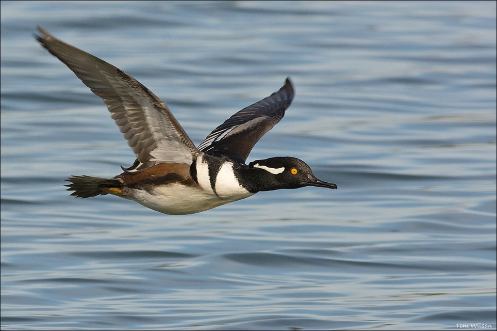 Male Hooded Merganser - ID: 15304360 © Thomas R. Wilson