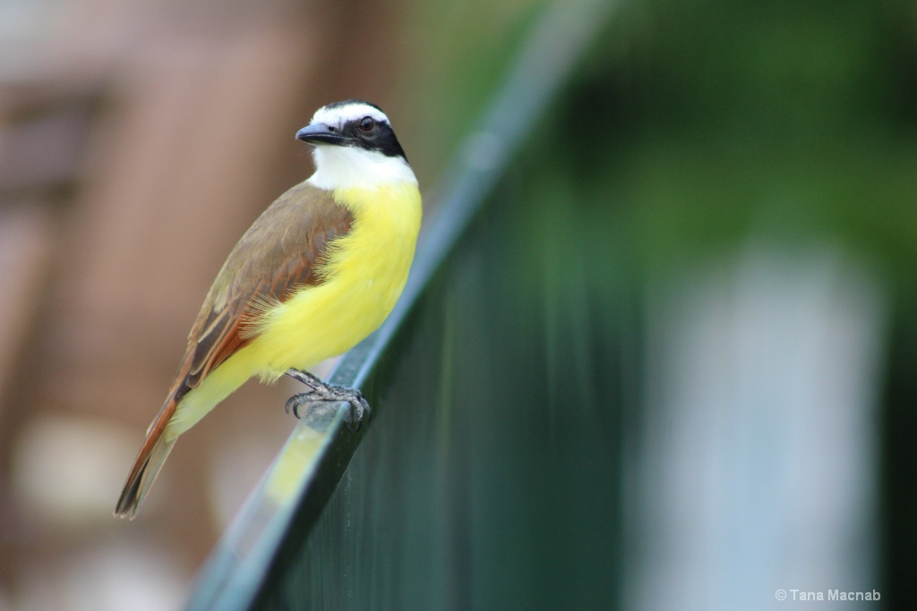 Yellow-Bellied Bandit