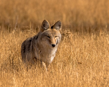 Coyote Coming
