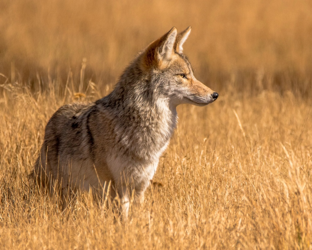 Profile of a Coyote - ID: 15304657 © Carol Gregoire