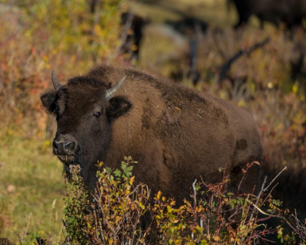 Fall Bison - ID: 15304666 © Carol Gregoire