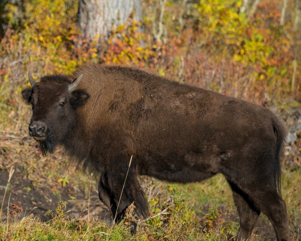 What Bison? - ID: 15304667 © Carol Gregoire