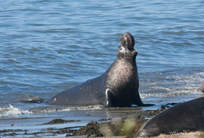 Elephant Seal Año Nuevo State Reserve - ID: 15304866 © Terry Korpela