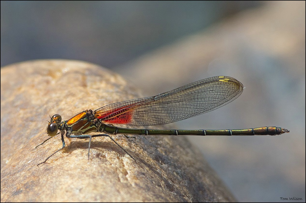 Male American Rubyspot - ID: 15305047 © Thomas R. Wilson