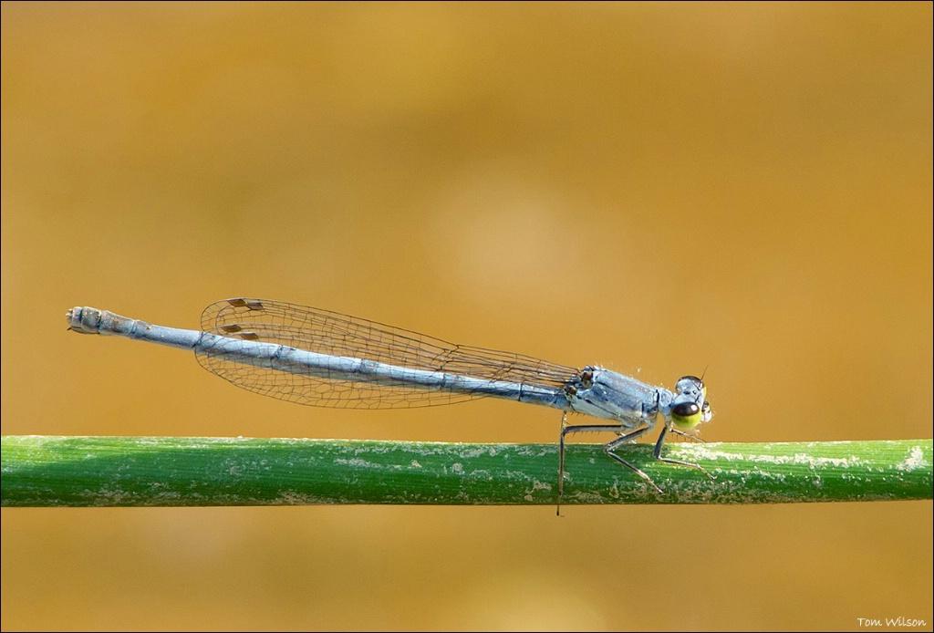 Fragile Forktail - ID: 15305125 © Thomas R. Wilson