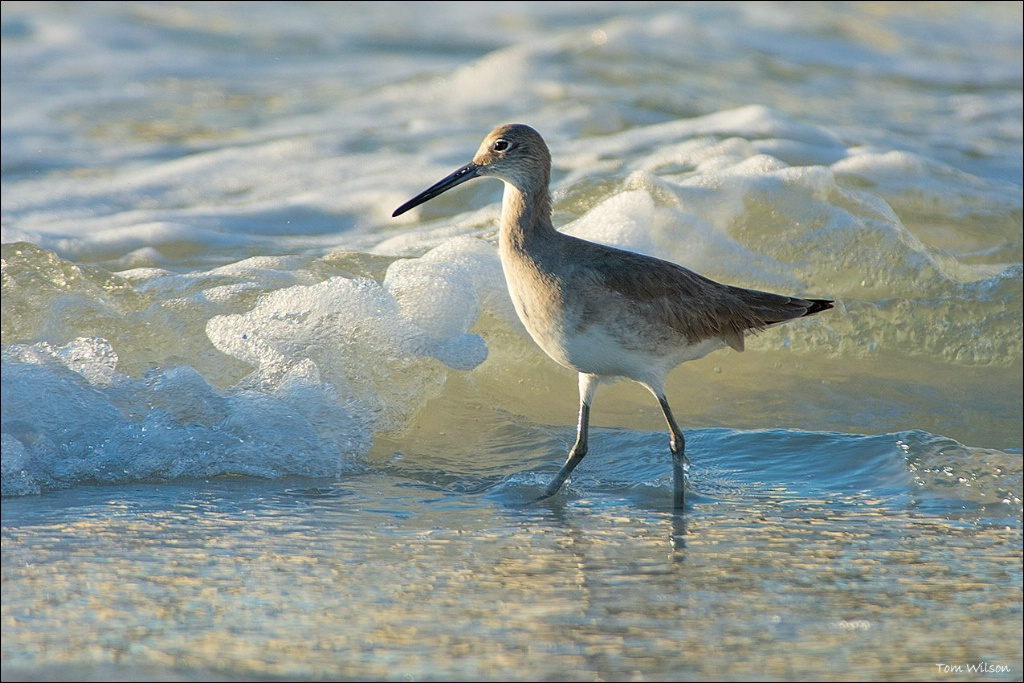 Willet in Waves - ID: 15305227 © Thomas R. Wilson