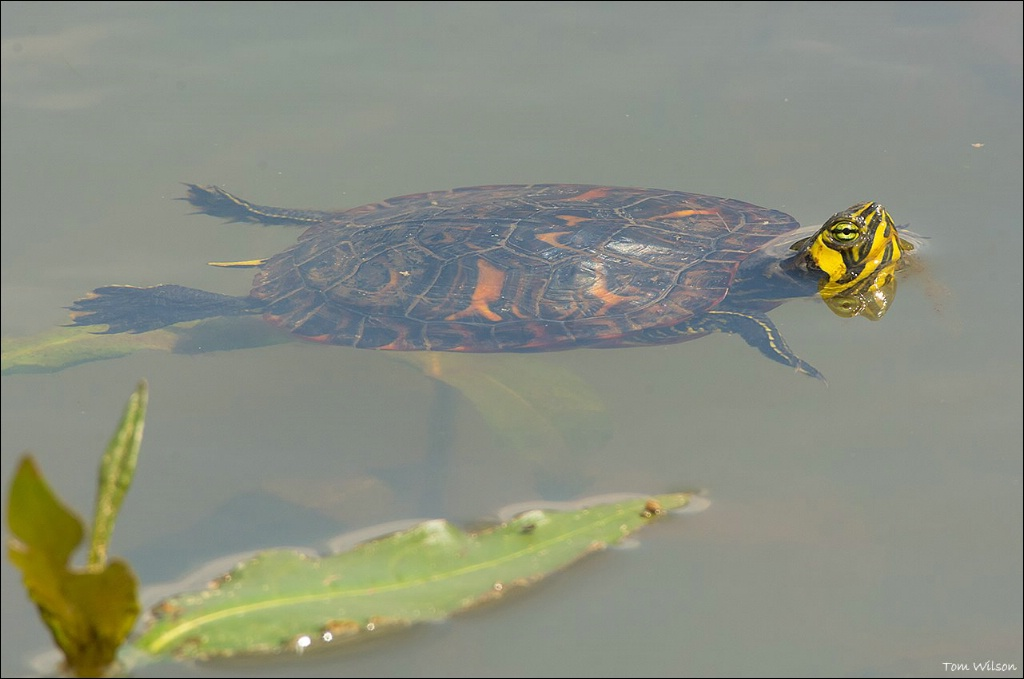 Yellow-eared Slider - ID: 15305230 © Thomas R. Wilson