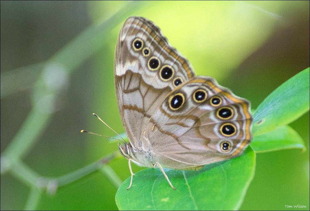 Hackberry Emporer - ID: 15305232 © Thomas R. Wilson