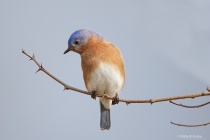 Bluebird on a Branch 1