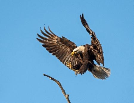 Eagle #23