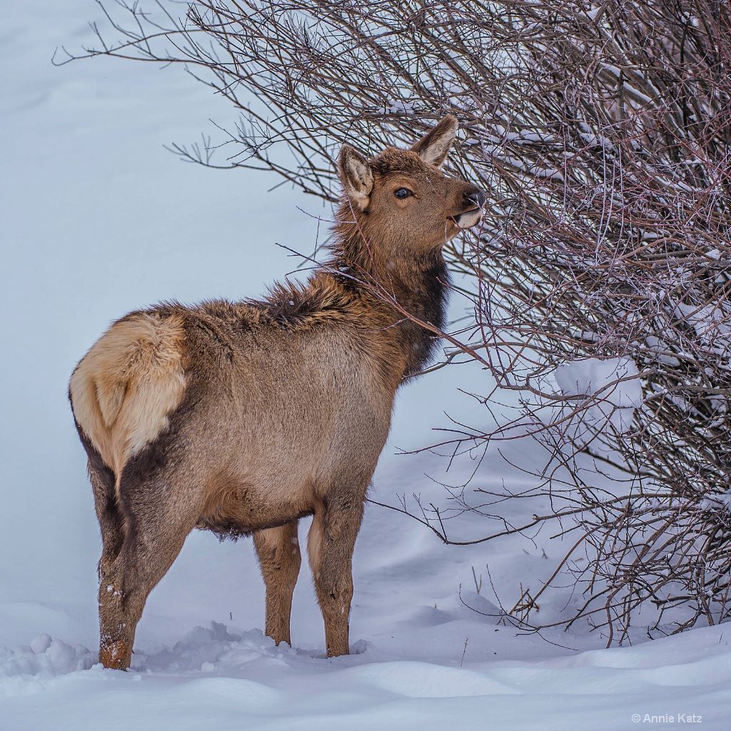 Young Elk - ID: 15306013 © Annie Katz