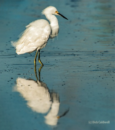 Great white egret. Image: Dick Caldwell