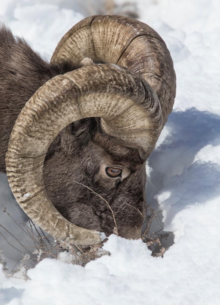 BIG HORN SHEEP - ID: 15309356 © Beatrice Yoder-Leyba
