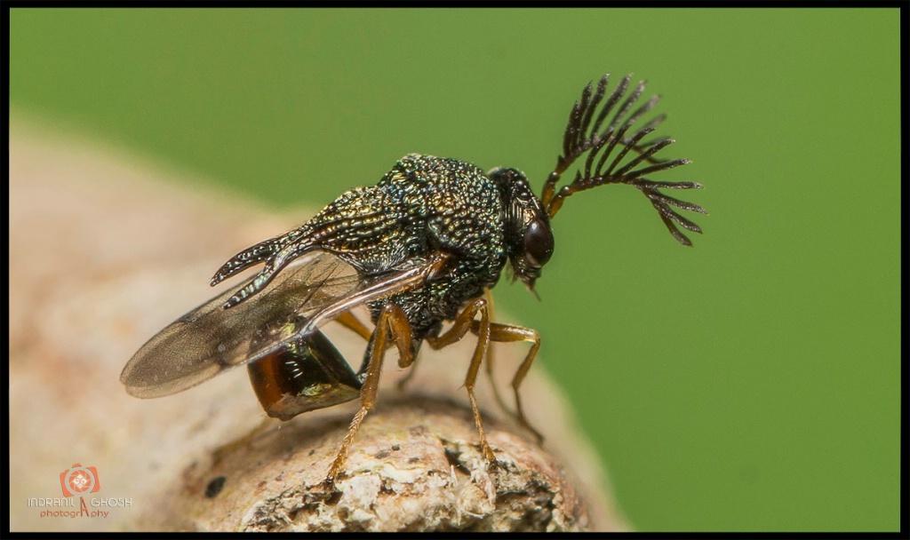 Metallic Wasp