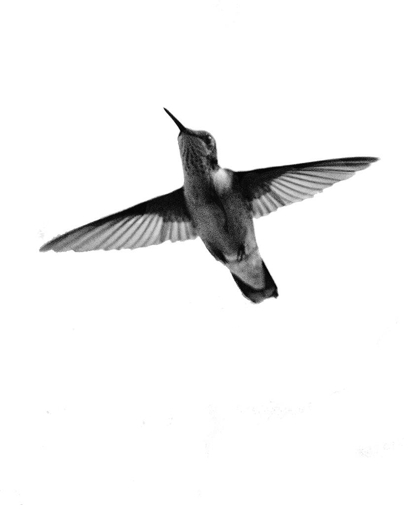 HUMMINGBIRD AT WINDOW 2016 Nominee ICA  - ID: 15309490 © Beatrice Yoder-Leyba