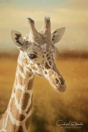 The Inquisitive Giraffe