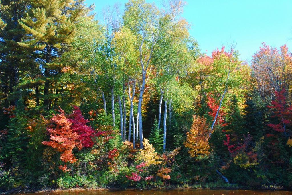 Tahquamenon Birch Tree Scene