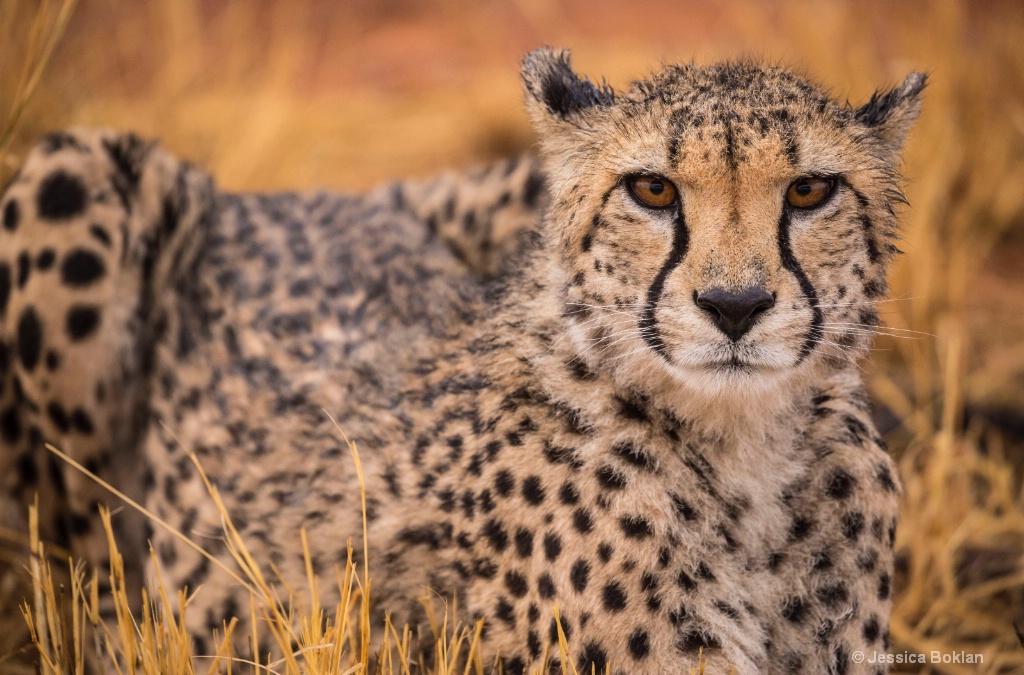 Cheetah - ID: 15310892 © Jessica Boklan