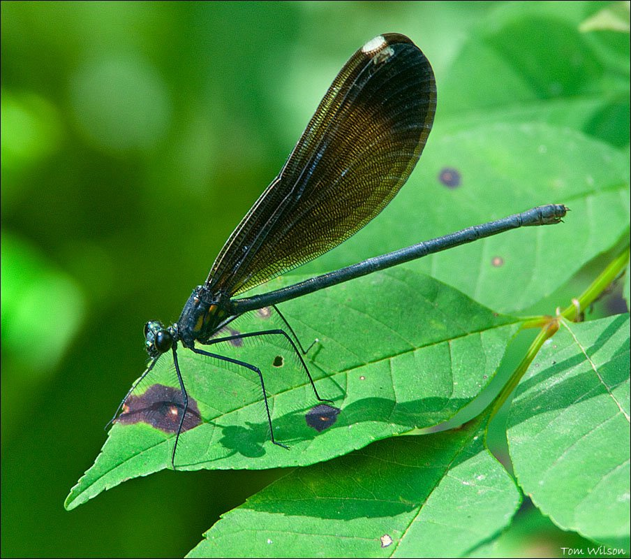 Female Ebony Jewellwing - ID: 15311209 © Thomas R. Wilson