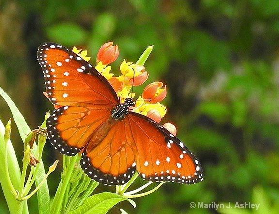 Queen Butterfly - ID: 15311423 © Marilyn J. Ashley