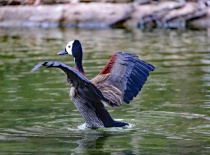 \White-faced Whistling Duck