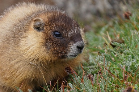 Closeup Marmot Babe