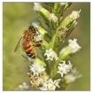 honeybee on bloom...