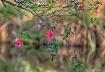 Pink Azalea Dream