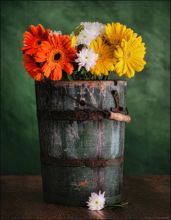 A Bucket Of Gerber Daisies
