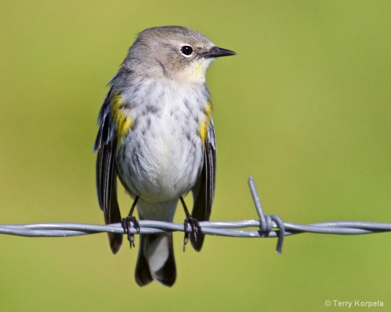 Yellow-rumped Warbler - ID: 15314367 © Terry Korpela