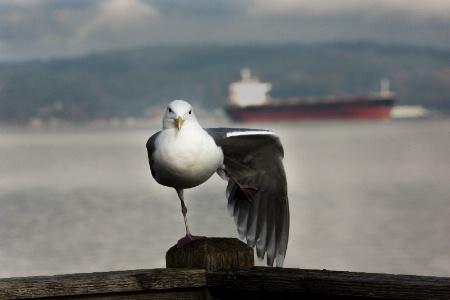 Seagull Hokey-Pokey