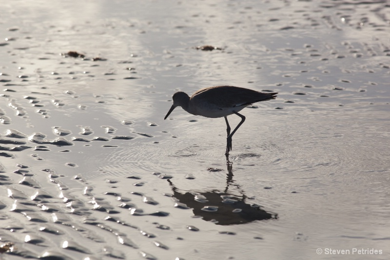 Willet 16 - ID: 15318225 © Steven Petrides