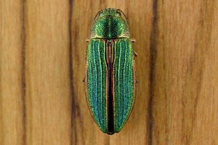 Little Green Beetle