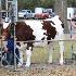 © Tracy Bazemore PhotoID# 15319332: heifer barn candids-2635