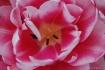 Double Tulip crop...