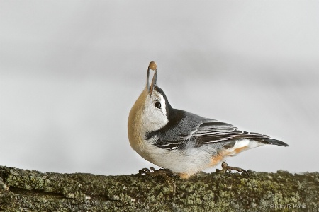 Nuthatch with a Nut