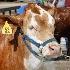 © Tracy Bazemore PhotoID# 15324446: steer bc-0538