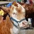 © Tracy Bazemore PhotoID# 15324447: steer bc-0539