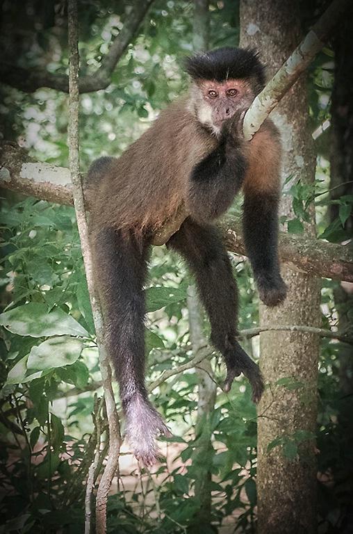 Just Hanging Out - Capuchin Monkey - Iguazu Falls - ID: 15327697 © Martin L. Heavner
