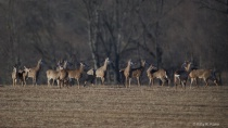 A Dozen Deer in Valley Forge This Afternoon