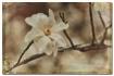 star magnolia II