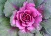 Ornamental Cabbag...