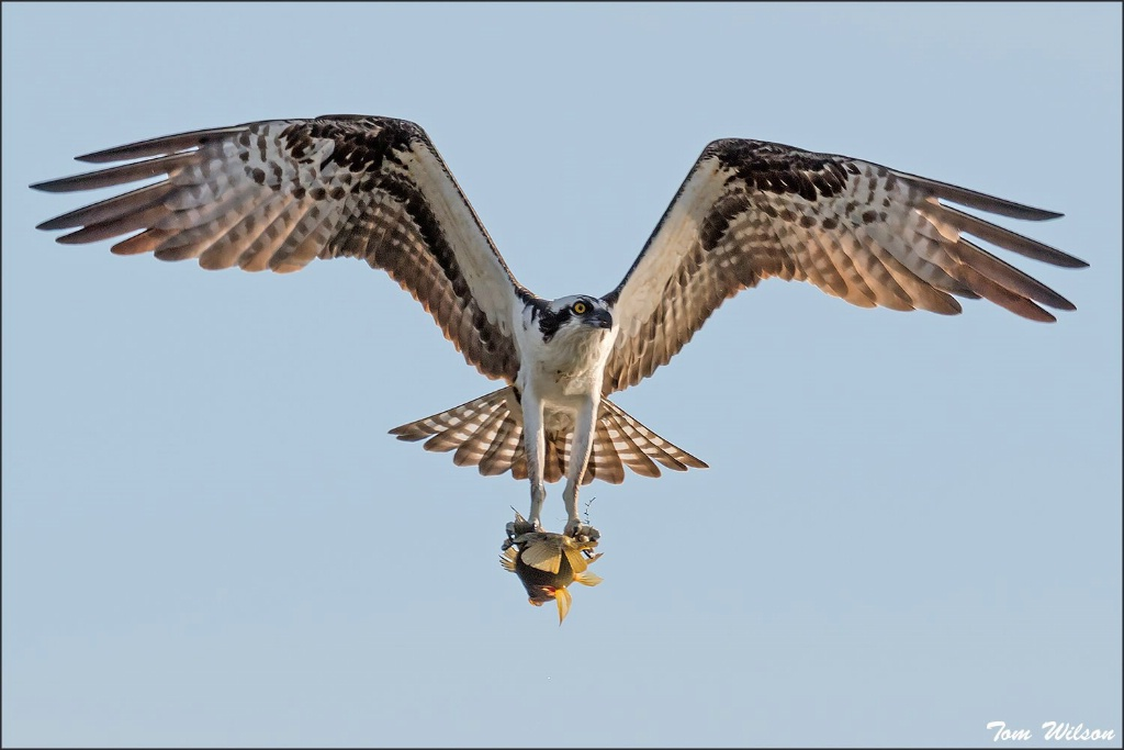 Ospry with Fish - ID: 15332956 © Thomas R. Wilson