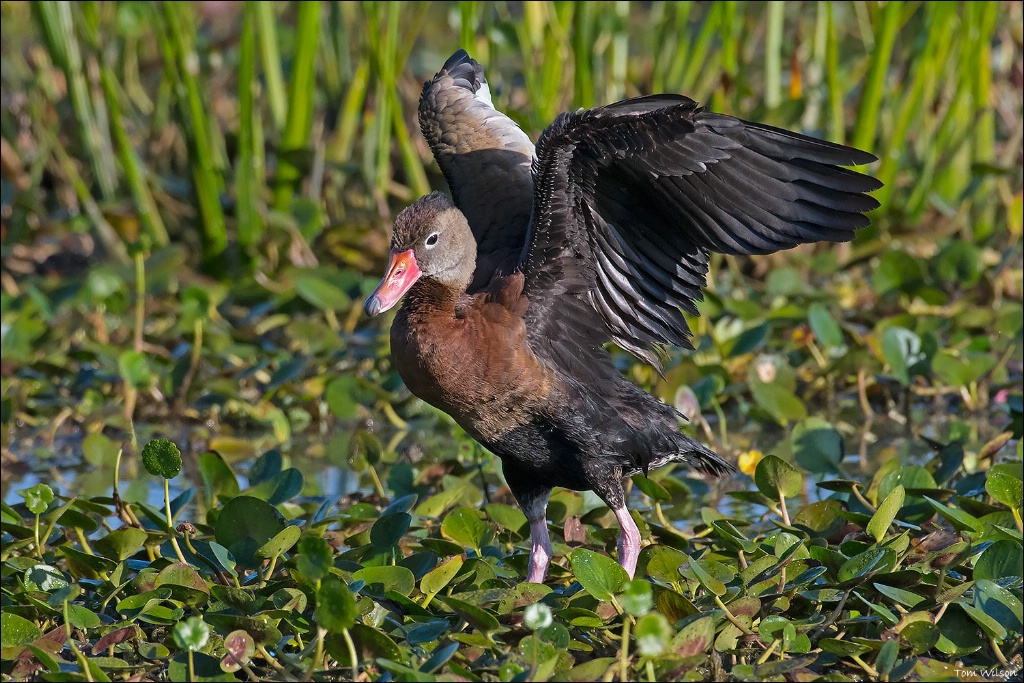 Black-bellied Whistling Duck - ID: 15332960 © Thomas R. Wilson