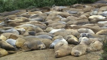 Elephant seal pod on beach