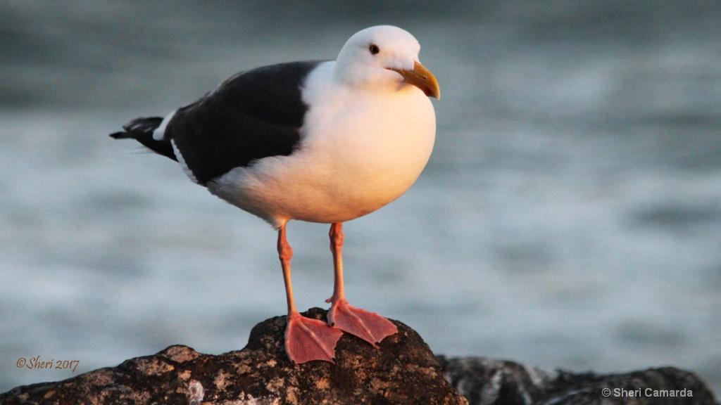 Stunning Seagul - ID: 15336793 © Sheri Camarda