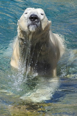 Playful Polar Bear