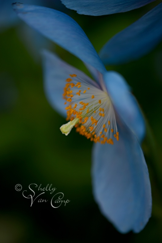 Rare Blue Poppy