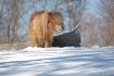 Pony in the Snow